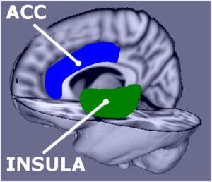 Anterior cingulate cortex  and Insula