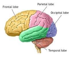occipital-frontal-lobes