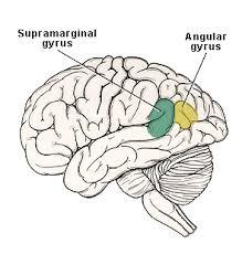 supramarginal gyrus